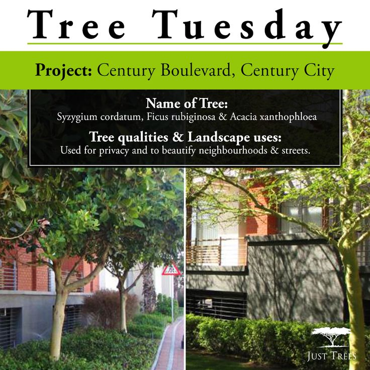 Today we're looking at a project we worked on with Landscape Contractor, Interplant Horticulture cc, and Landscape Architect, Planning Partners, at Century Boulevard, Century City. In May 2015, we delivered Syzygium cordatum in 100L & 400L, Ficus rubiginosa in 200L & 400L and Acacia xanthophloea in 200L & 400L to beautify Century Boulevard and to offer privacy from the busy road.