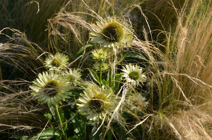 echinacea green with stipa modern garden malkul