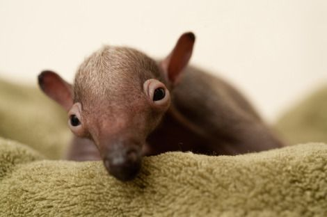 Tiny anteater. It's so ugly its... no, its just ugly.