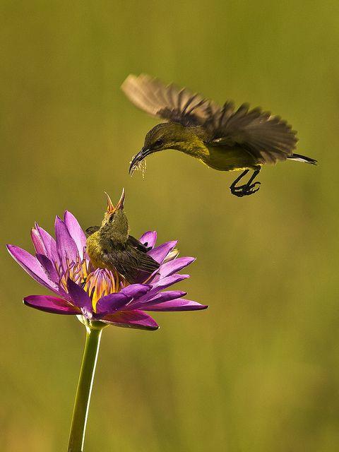 Burung Kolibri by yanen31 on Flickr.        Burung Kolibri - Burung Penghisap Madu - Olive Backed Sunbird - Nectariniidae        Location : Jakarta - Indonesia