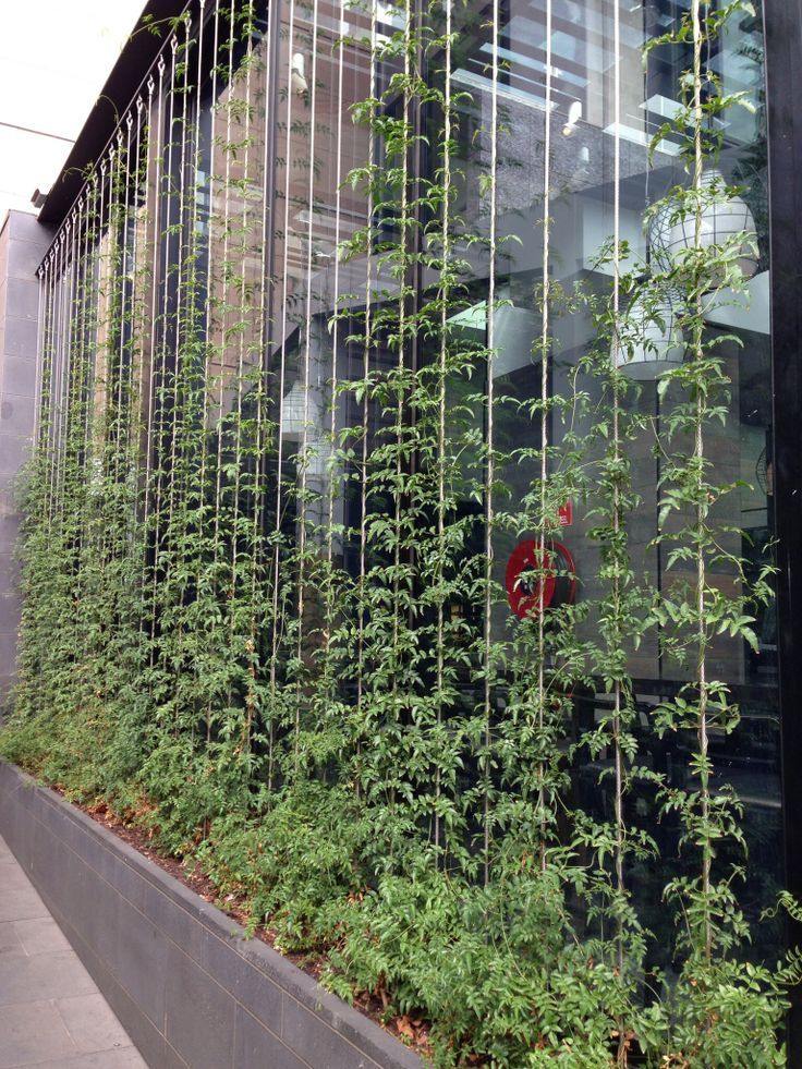 vertical garden climbing on wires
