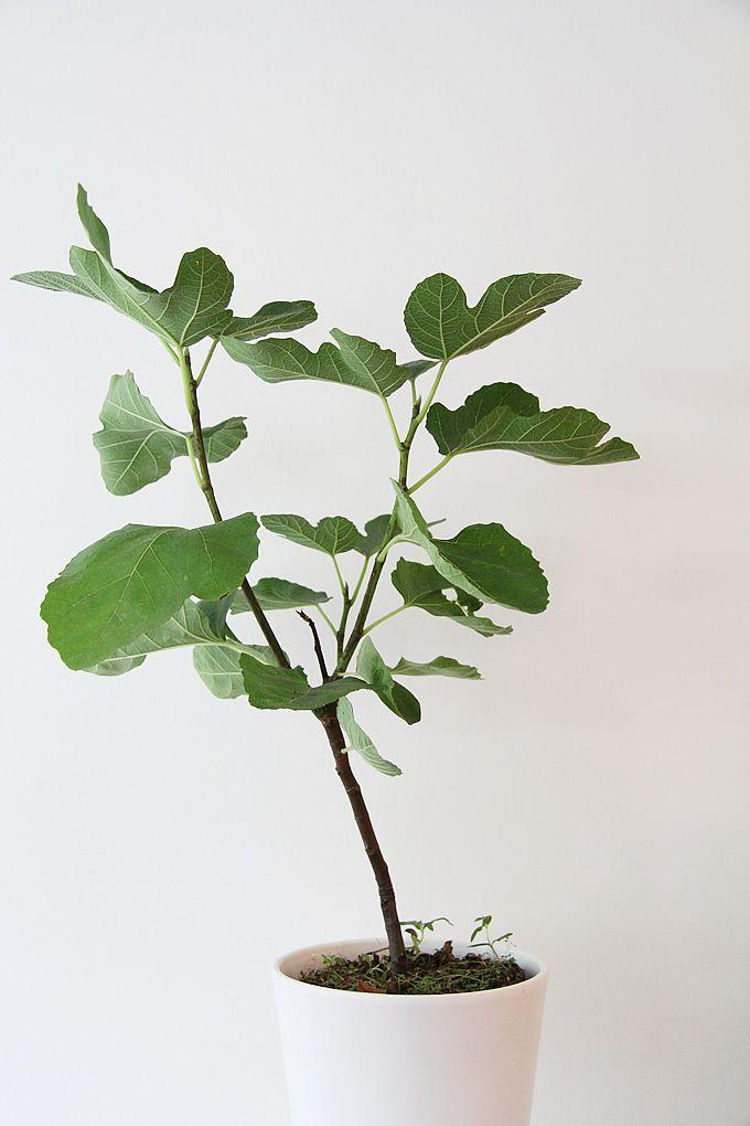 white fig tree.