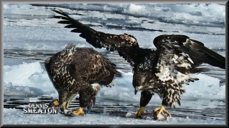Bald Eagles Of Brighton Newfoundland