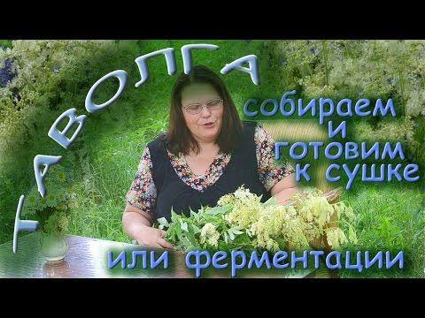 ТАВОЛГА: собираем и готовим к сушке или ферментации - YouTube