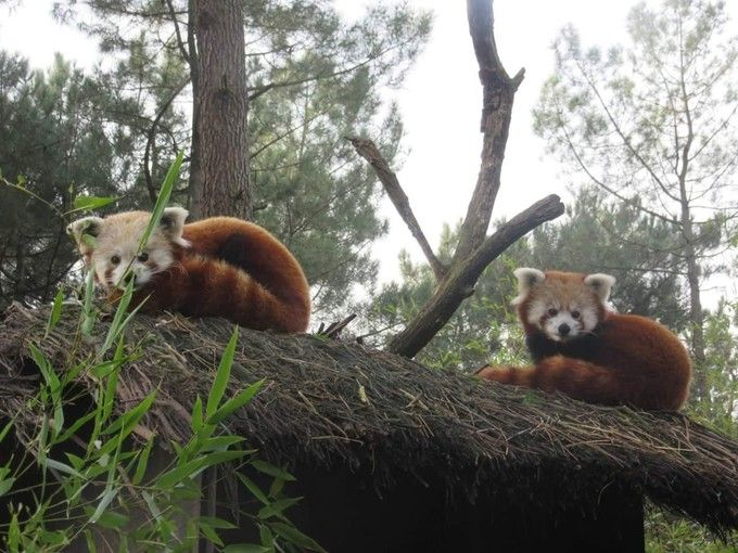 Pluie de naissances au zoo de La Flèche - Edition du soir Ouest France - 08/07/2016 Sangha et Yang, couple de pandas roux, ont choisi le 19 juin, jour de la fête des Pères, pour devenir parents de deux bébés. Ce petit mammifère de la famille des ailuridés, originaire d'Asie, est une espèce menacée.