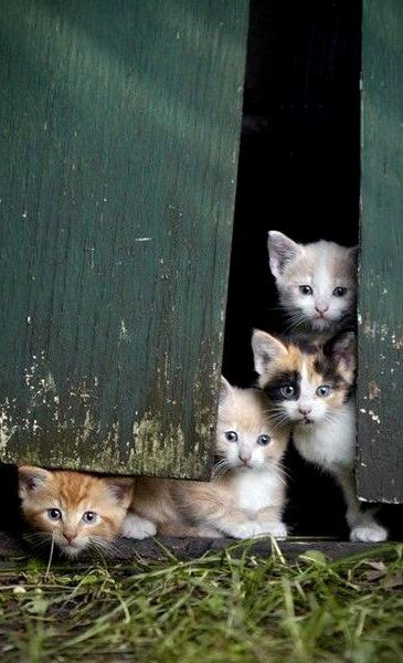 So many cute kittens. Calico, orange, buff and maybe a Siamese?