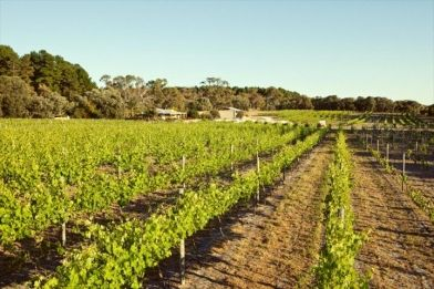 Vineyard 28 has received many awards for its business. Read more: http://www.visitpeel.com.au/vineyard-28