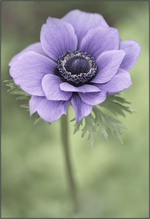 Lavender Anemone Flower