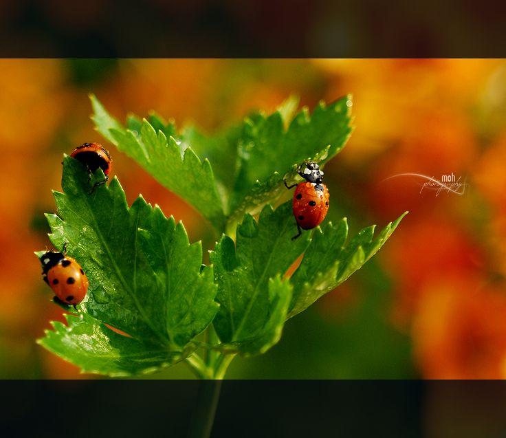 "I love ladybugs.  I always have aphids so I always have ladybugs.  ""Lets Play Hide & Seek"" by Mohan Duwal, via 500px."