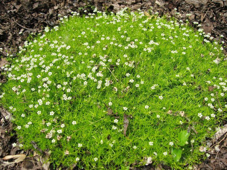 так садовые цветы почвопокровные фото с названиями меня эти
