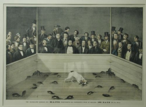 The celebrated terrier dog Major performing his wonderful feat of killing 100 rats. ca. 1800-1899.