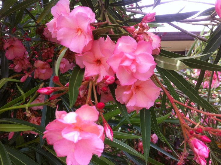 Nerium splendens dwarf/compact Double pink Oleander. Evergreen small hardy shrub. Clusters of magnificent double rose-pink flowers from spring into autumn. Leaves and flowers poisonous to eat but not to touch. H to 1.2 mtrs x W to 1 mtrs. Full sun to part shade. Frost and drought hardy, Easy to [...]