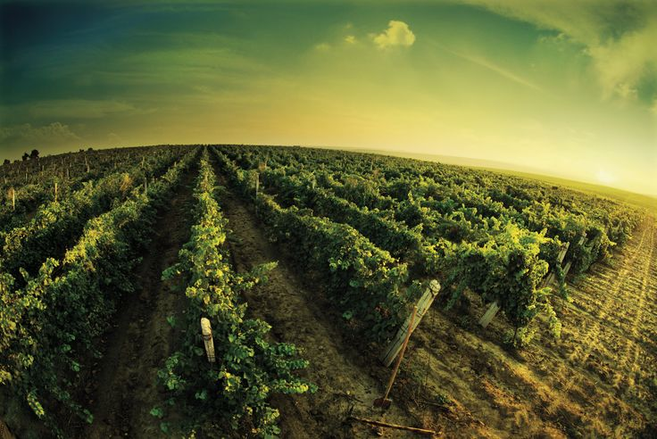 #Constanta City Tour & Wine tasting at the #Murfatlar Winery- The story of the Dobrogean wines begins 2000 years ago . You won't truly know #Dobrogea unless you visit the Murfatlar winery – either you visit the Wineyard and #WineMuseum , either you taste the well known wines or the traditional Dobrogean dishes