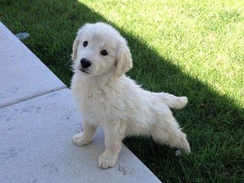 Goldendoodle puppy for sale in BRIGHTON, CO. ADN-35906 on PuppyFinder.com Gender: Female. Age: 13 Weeks Old