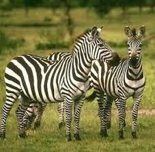 Resultado de imagen para animales herbívoros.