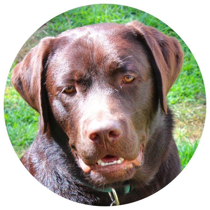 Once tasty treats are mentioned drooling pup is never far away! #labradorable