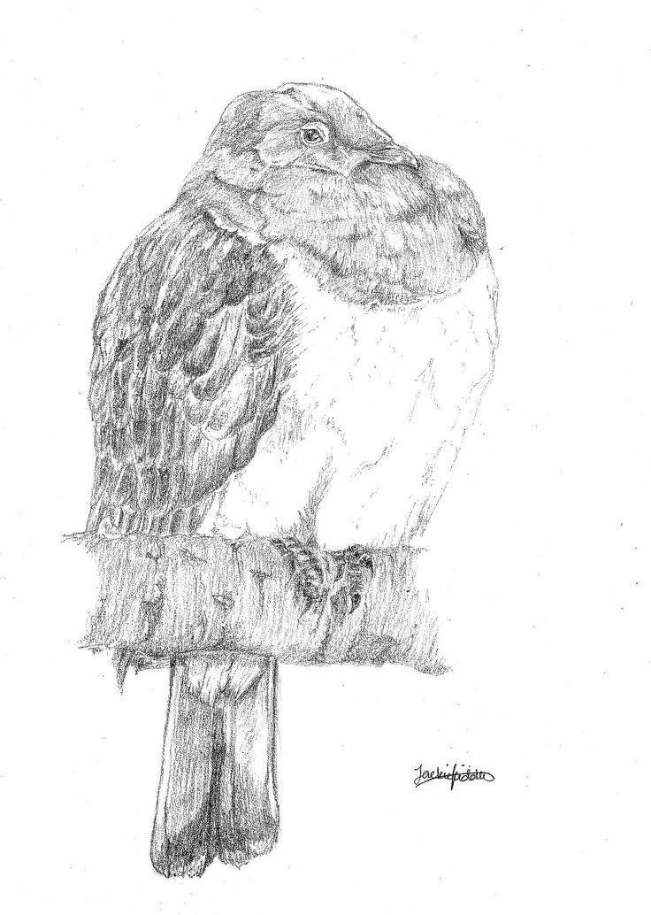 Kereru (NZ Woodpigeon),   Hemiphaga novaeseelandiae.