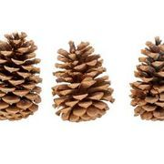 Gather your own pinecones to make holiday decorations, pinecone wreaths, ornaments and centerpieces. It's an environmentally friendly way to decorate and it's easy on the wallet. Fall is a good time to get outside and pick up fallen cones under pine trees. Unfortunately, most of the cones that you find are closed. If you don't want to...