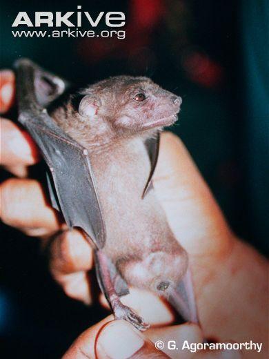 Salim Ali's fruit bat (Latidens salimalii)