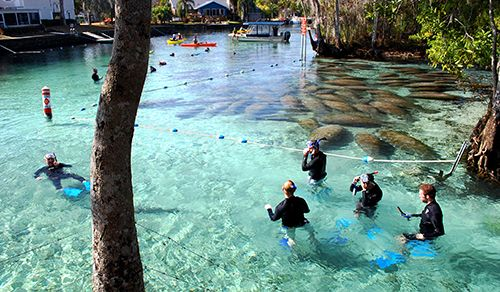 From the first sign of cold weather until spring, the Manatee gather in Crystal River, Florida springs to keep warm.