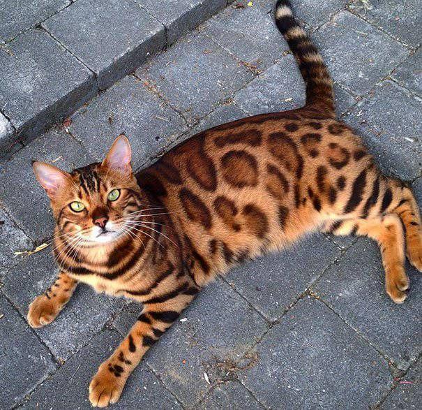 Rencontre avec Thor, un chat du Bengale à la fourrure merveilleuse et parfaite. Thor le chat du Bengale fait partie de l'un de ces félins qui regarde à trav