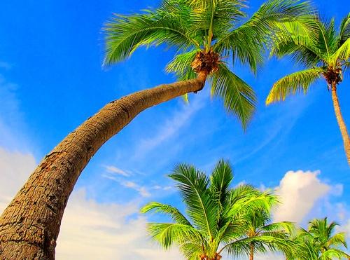 ...esse coqueiro que dá côco, onde eu amarro a minha rede, nas noites claras de luar.....