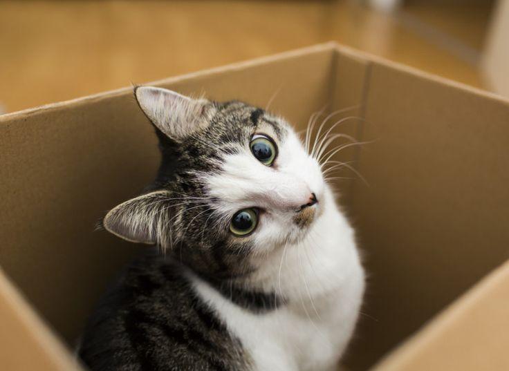 Till alla kattägare som undrat: Därför älskar katter kartonger