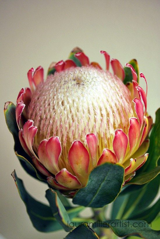 2protea flower sketch