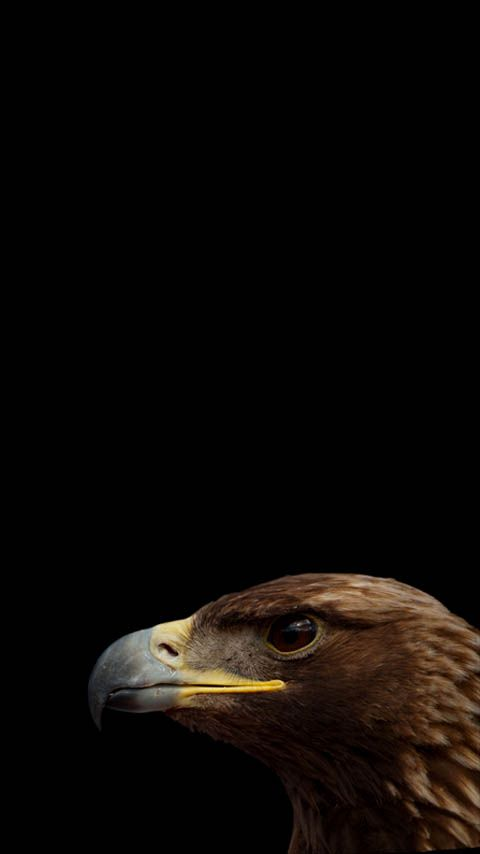 Free wallpapers / backgrounds for phones with FWVGA display (resolution 480 x 854 pixels / 16:9 ratio). Nature. Eagle.