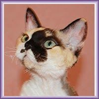Питомник девон рексов DEVONLAND: Kittens. КОТЯТА