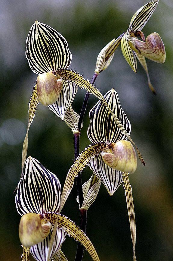 """""""Paphiopedilum Orchid"""" - © Winston D. Munnings"""