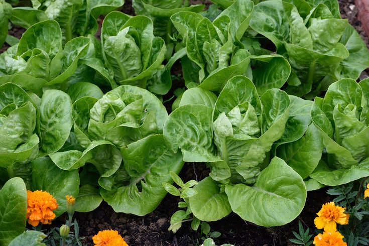 68 Best Lettuces To Grow Images On Pinterest Arugula 400 x 300