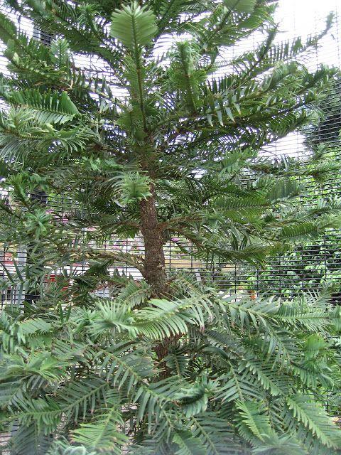 WOLLEMI PINE (Wollemia nobilis) Nueva Gales del Sur - Australia