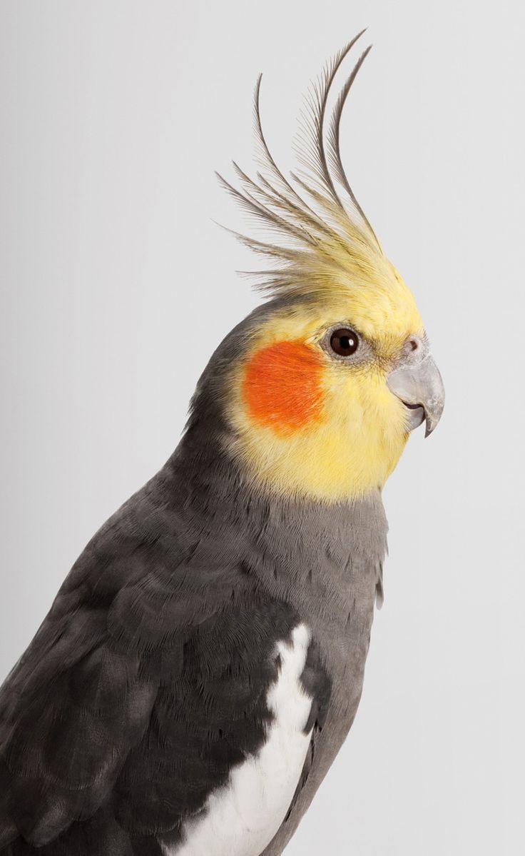 573 best australian parrots images on pinterest beautiful birds