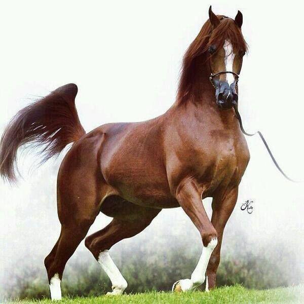 31. Siete curiosidades de la raza de caballo Árabe