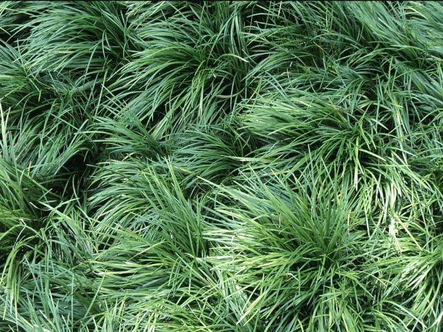 Ophiopogon japonicus - grama pelo de urso ou grama japonesa