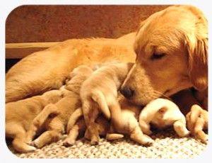 Tips For Taking Care of Your Pregnant Dog | tailsuntold