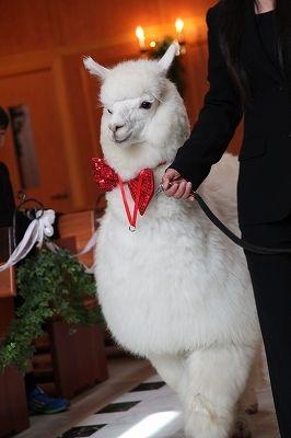 アルパカちゃんがリングボーイになってくれるアルパカウェディング♡ 那須での結婚式のアイデア一覧。ウェディング・ブライダルの参考に。