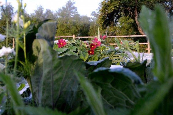 Cabbage and cosmos. #kitchengarden #growfood #garden #gardening #potager #vegetables