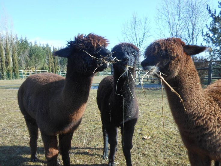 The Alpacas enjoying the sun