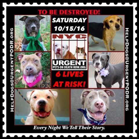 "***6 BEAUTIFUL LIVES TO BE DESTROYED 10/15/16 @ NYC ACC. *SO MANY GREAT DOGS HAVE BEEN KILLED: Puppies, Throw Away Mamas, Good Family Dogs. This is a HIGH KILL ""CARE CENTER"" w/ POOR LIVING CONDITIONS. Please Share!"