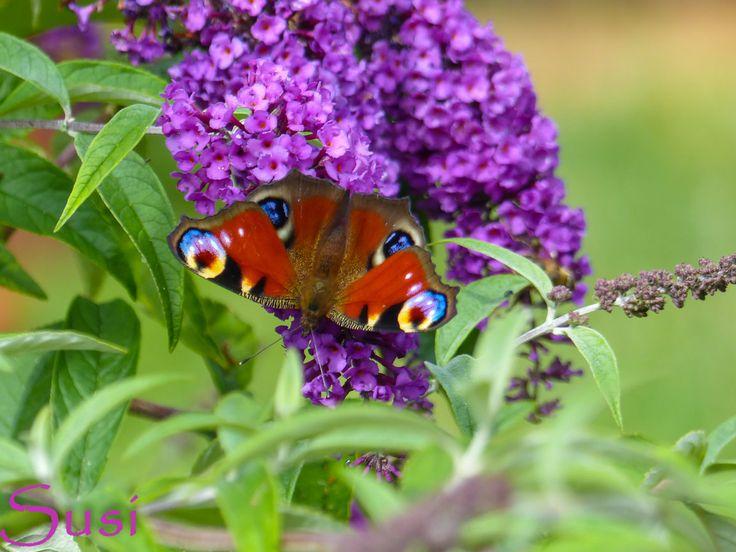 Mit vollen Farben auf dem Schmetterlingsflieder der Tagpfauenauge  peacock butterfly