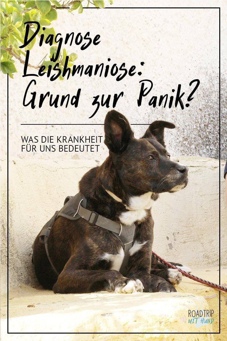 Hilfe, mein Hund hat eine Mittelmeerkrankheit! - Kann man denken, muss man aber nicht. Wir sind mit unserem #leishmaniose -Hund das beste Beispiel: Gesund und munter, viel unterwegs und ohne jede Angst vor der Zukunft. Wie das geht und weshalb man sich von der Diagnose Leishmaniose nicht einschüchtern lassen sollte, darüber sprechen wir in diesem Artikel.