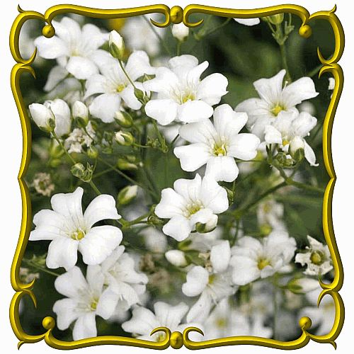 Gypsophila elegans (Annual Baby's Breath) Wildflower Seed how to save seed
