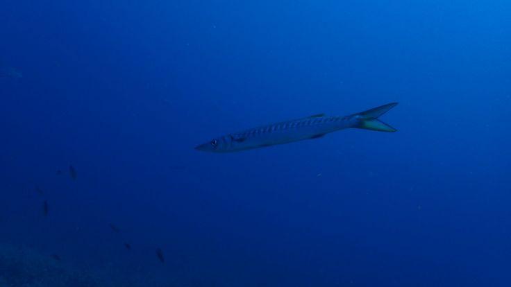 #scuba #diving #scubadiving #huzur #derinlerde #underwarter #underwaterphotography #ebcousto #Coustodive #egebarakuda