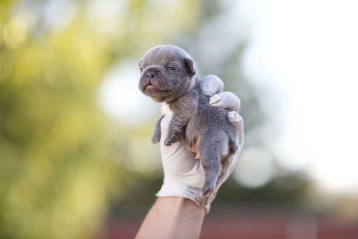 French Bulldog Puppy For Sale In Fresno Ca Adn 71014 On