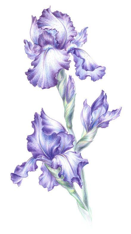 полевые цветы рисунки карандашом Поиск в Google ИРИСЫ