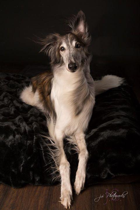 Leopold (Silken Windhound) photo courtesy of Jacqui Sjonger J.S. Photoworks