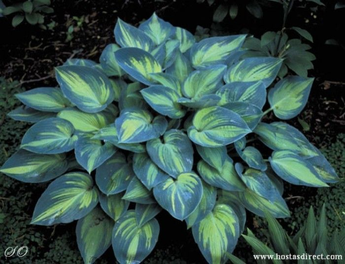 Hosta 'June' - Hosta of the year in 2001! Beautiful variegation in the leaves!