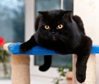 Best I Adopting Pets Images On Pinterest Shelters Animal - Adorable photos of black shelter cats help them find their forever homes